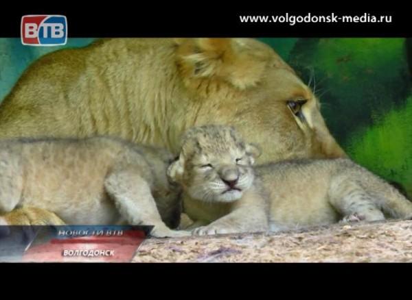 Львица-гастролер родила вВолгодонске четырех малышей