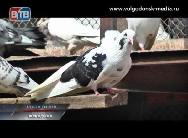 ВВолгодонске планируют впервые провести ярмарку летных идекоративных голубей