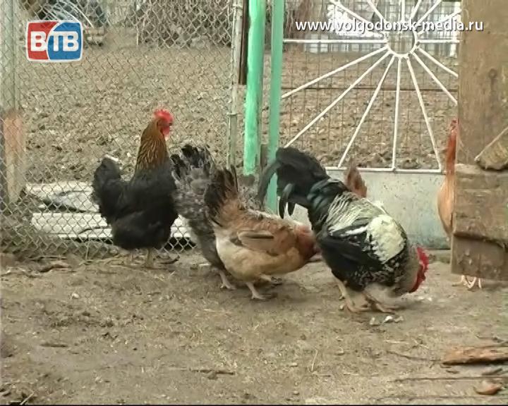 В Волгодонске пройдет международный птицеводческий семинар