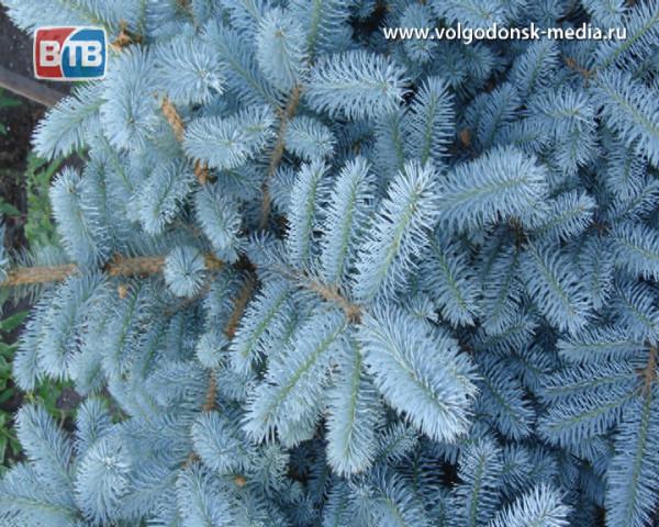 Прямо возле Белого дома Волгодонска срубили голубую ель