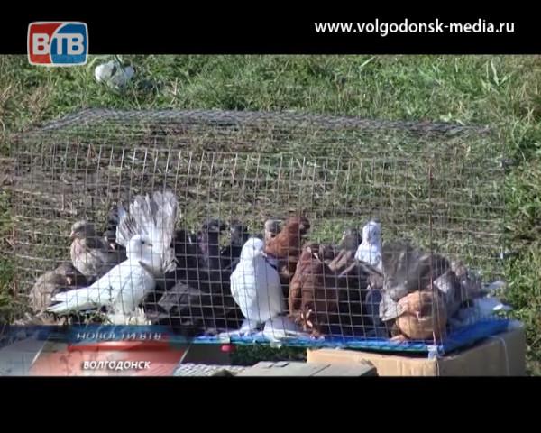 В Волгодонске вновь пройдет ярмарка голубей и летных птиц. Главные герои приближающегося воскресного события — в студии Новостей ВТВ