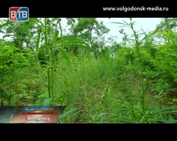 В Волгодонске нашли конопляное поле