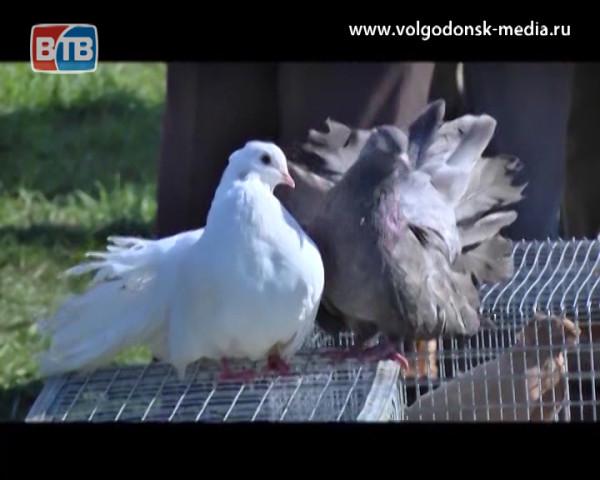 В Волгодонске пройдет очередная ярмарка голубей
