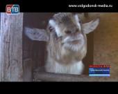 Хозяйка года грядущего. Корреспонденты Новостей ВТВ познакомились с символами 2015