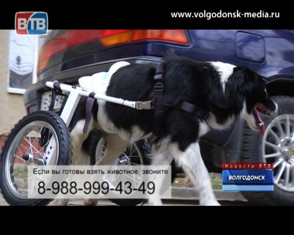 Единственный в Волгодонске пес-колясочник ищет дом
