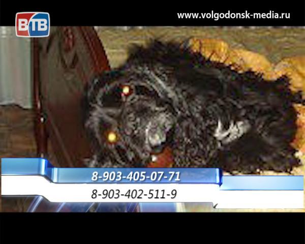 В Волгодонске разыскивают потерявшегося кокер-спаниеля