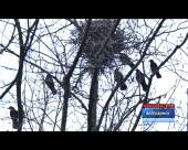 Сквер «Дубравушка» облюбовали птицы не дающие житья людям