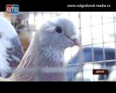В эту субботу жители и гости Волгодонска смогут посетить выставку голубей