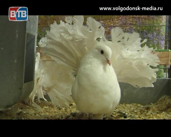 У жителей Волгодонска осталась всего неделя, чтобы увидеть выставку кроликов и голубей