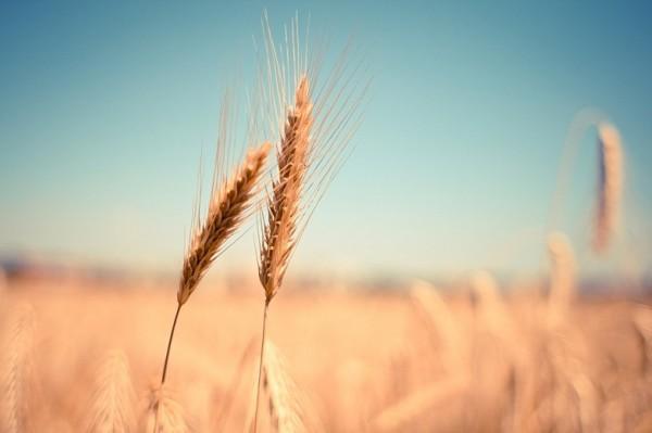 Первая партия нового урожая донской пшеницы отправилась в Кению