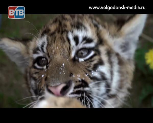 Михаил Зарецкий, родившийся в Волгодонске, стал «воспитателем тигров»