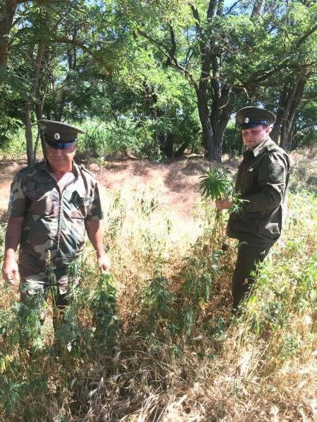В Единый день борьбы с дикорастущей коноплей в Волгодонске уничтожили 750 кустов