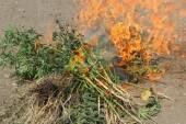 О необходимости уничтожения дикорастущей конопли, ответственности за ее незаконное культивирование и непринятие мер по уничтожению опасного растения