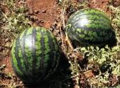 О местах реализации бахчевых культур на территории Волгодонска