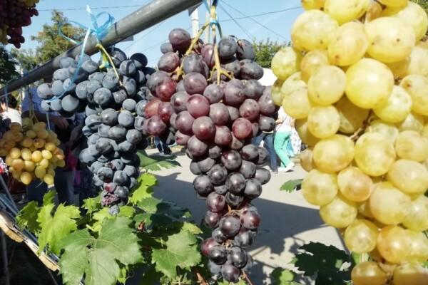 В Цимлянском районе пройдет фестиваль вина «Цимлянская лоза»